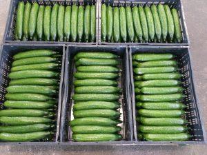komkommerkwekerij gelderland